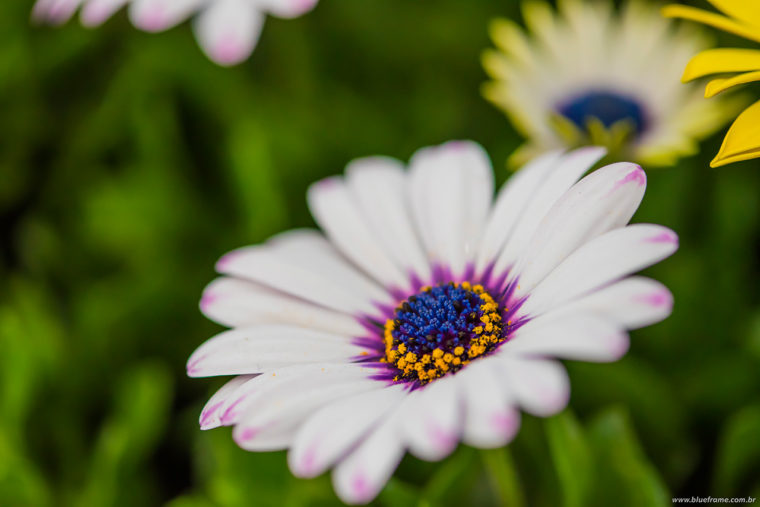 flor azul, amarela e rosa